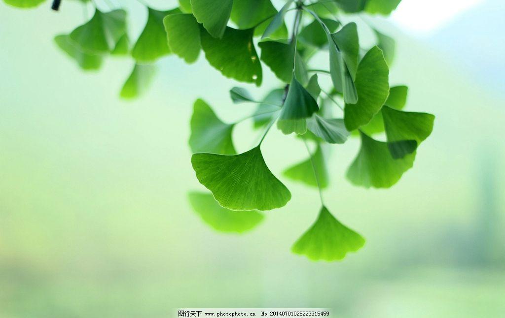 银杏叶 银杏 叶子 树叶 绿叶 绿色 枝叶 植物 树木 生物世界 树木树叶