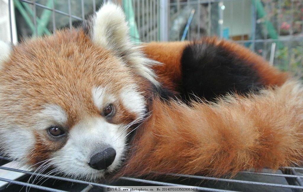 小熊猫 熊猫 可爱 动物 保护 睡觉 萌 野生动物 生物世界 摄影 300dpi
