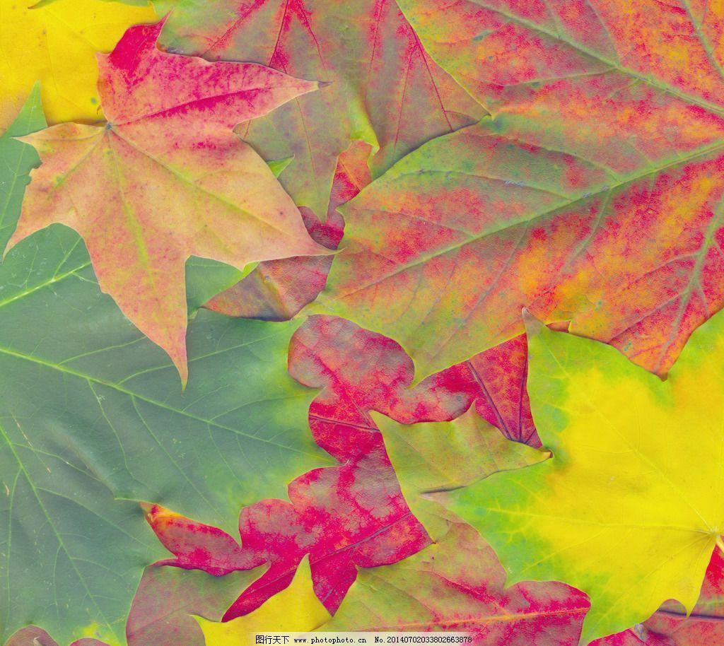 背景/美丽的秋天的枫叶背景