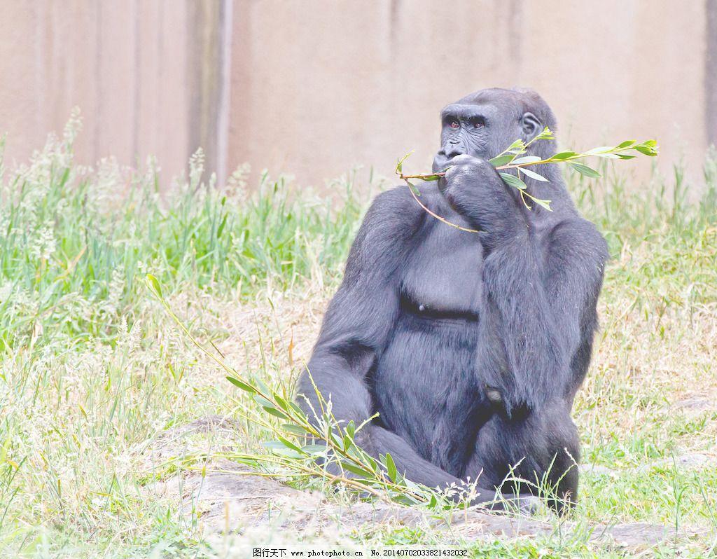 动物园的大猩猩