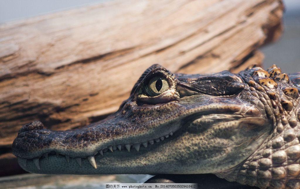 鳄鱼 动物摄影 两栖动物 凶猛的鳄鱼 鳄鱼图片 动物素材 野生动物