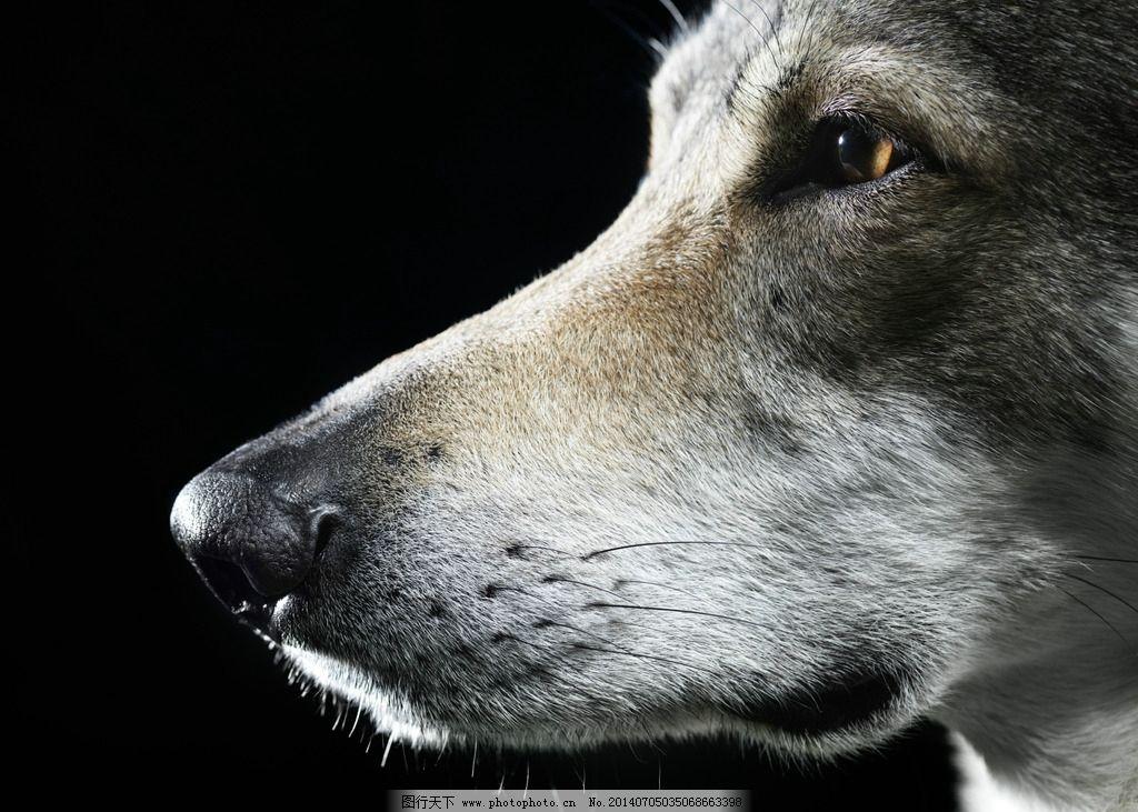狼 狼族 狼图 狼神 狼性 动物 野生动物 生物世界 摄影 300dpi jpg