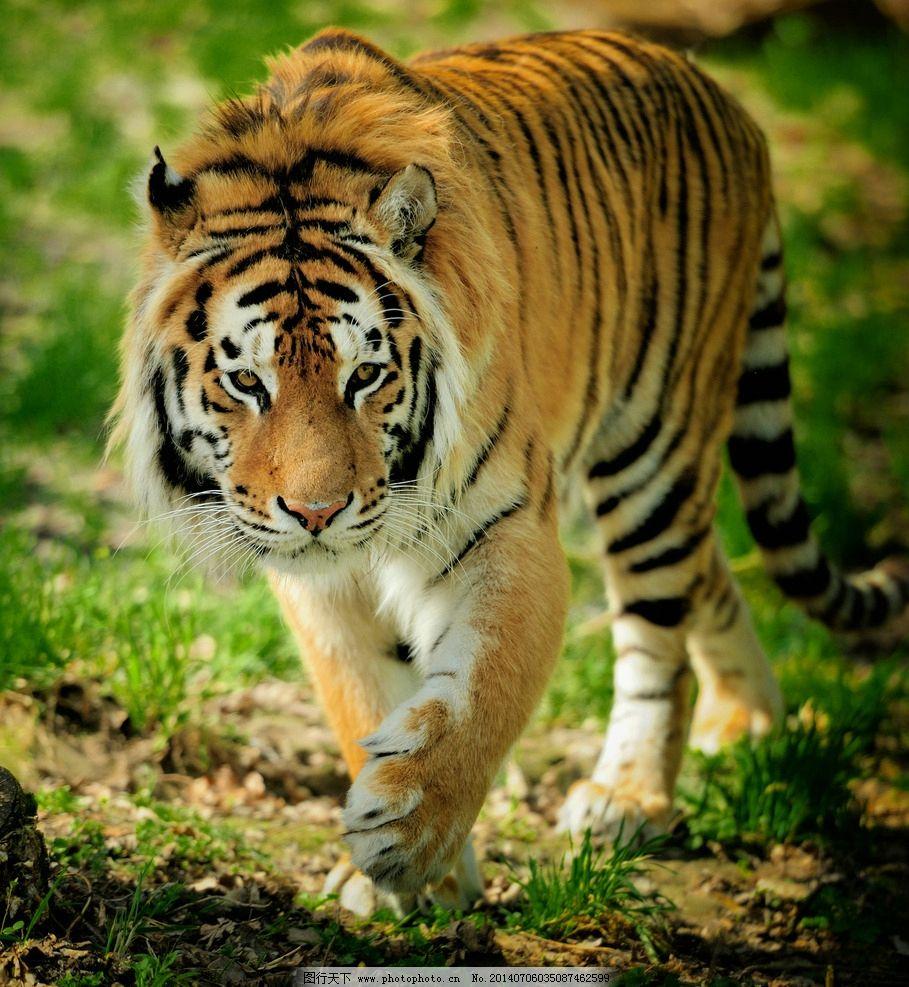 东北虎 虎 老虎 斑斓猛虎 猛虎 兽中之王 野生动物 生物世界 摄影 300