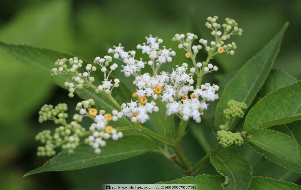小白花 金黄果 无名草 田园风景 自然景观 花草 生物世界 摄影 72dpi