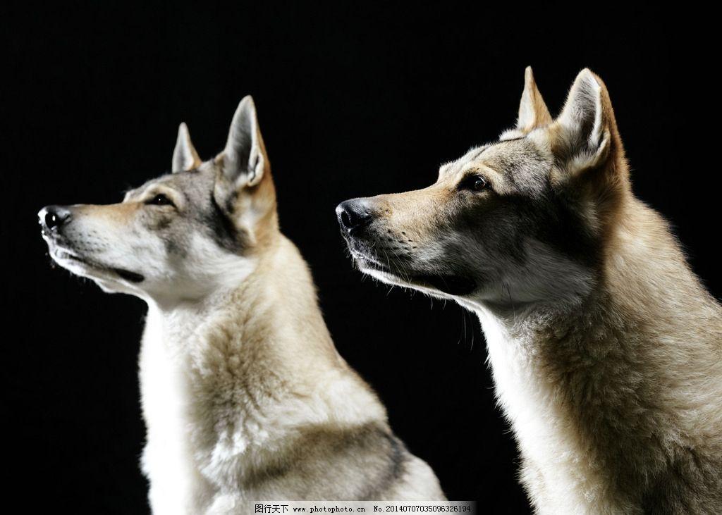 狼 狼族 狼神 狼性 野生动物 生物世界 摄影