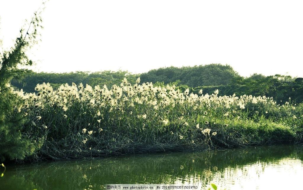 野芦苇 芦苇地 芦苇飞絮 夏天的芦苇 芦苇摄影 芦苇风景 花草 生物