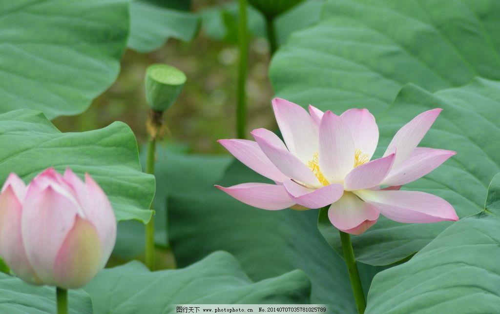 荷花摄影 莲花 植物 绿色 自然风景 花卉 花草 生物世界
