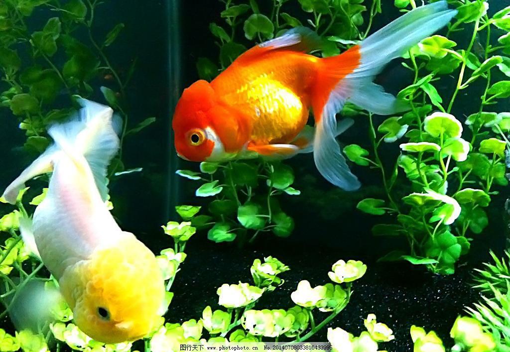 金鱼 金鱼图片免费下载 金鱼素材 摄影 生物世界 鱼类 水生动物