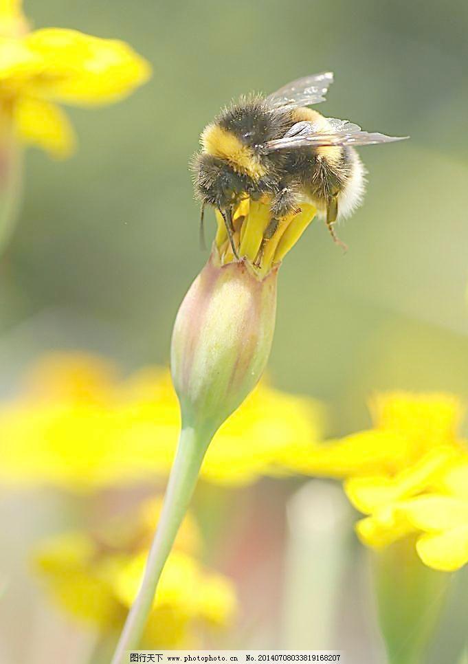 动物图片 蜂 昆虫 昆虫图片 蜜蜂 蜜蜂素材 蜜蜂图片 摄影 蜜蜂 动物