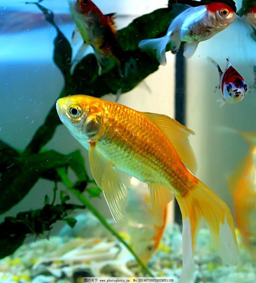 jpg 金鱼 金鱼素材 金鱼图片 摄影 生物世界 鱼 鱼类 金鱼 水生动物