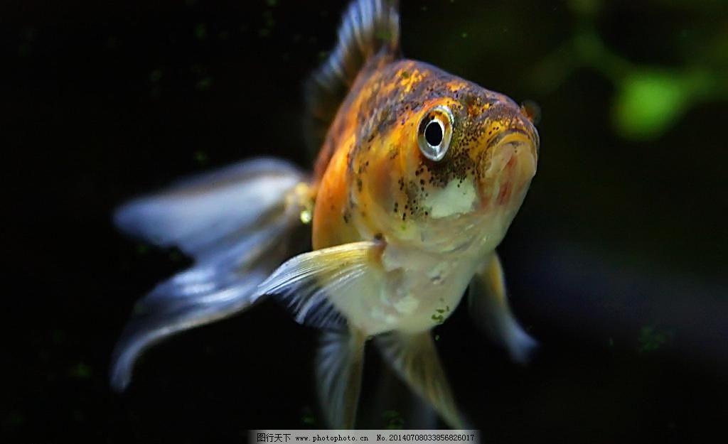 金鱼图片免费下载 72DPI JPG 金鱼 金鱼素材 金鱼图片 摄影 生物世界 鱼 鱼类 金鱼 水生动物 鱼类 鱼 观赏鱼 金鲫鱼 宠物鱼 金鱼图片 金鱼素材 生物世界 摄影 72DPI JPG 图片素材