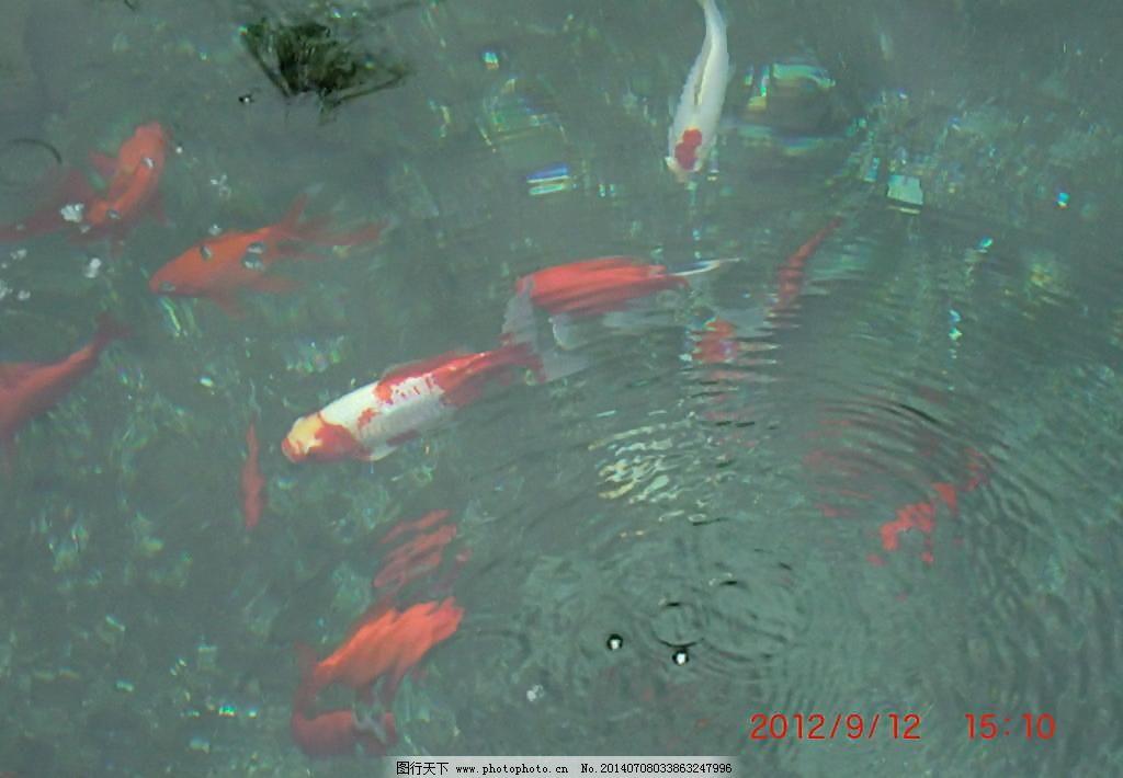 池塘金鱼图片