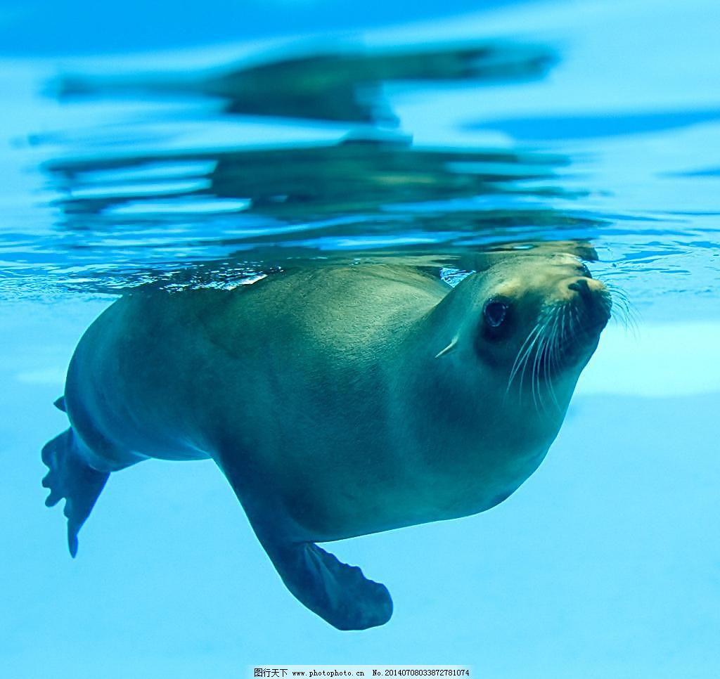 海豹 海豹图片免费下载 大海 海底 海底世界 海洋生物 摄影 生物世界