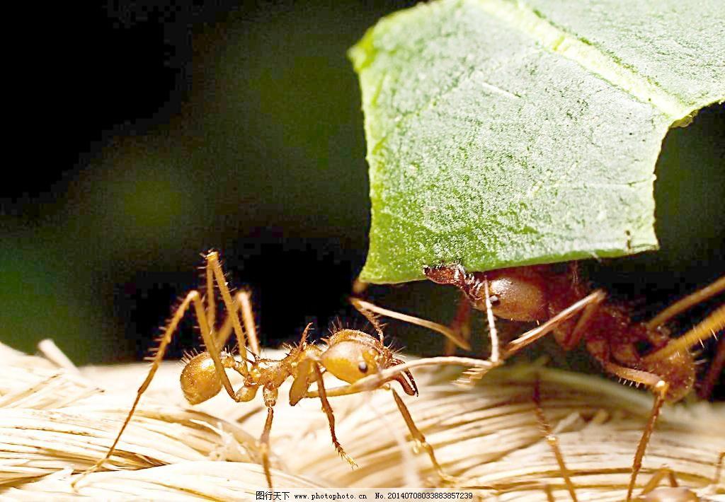 切叶蚁图片图片