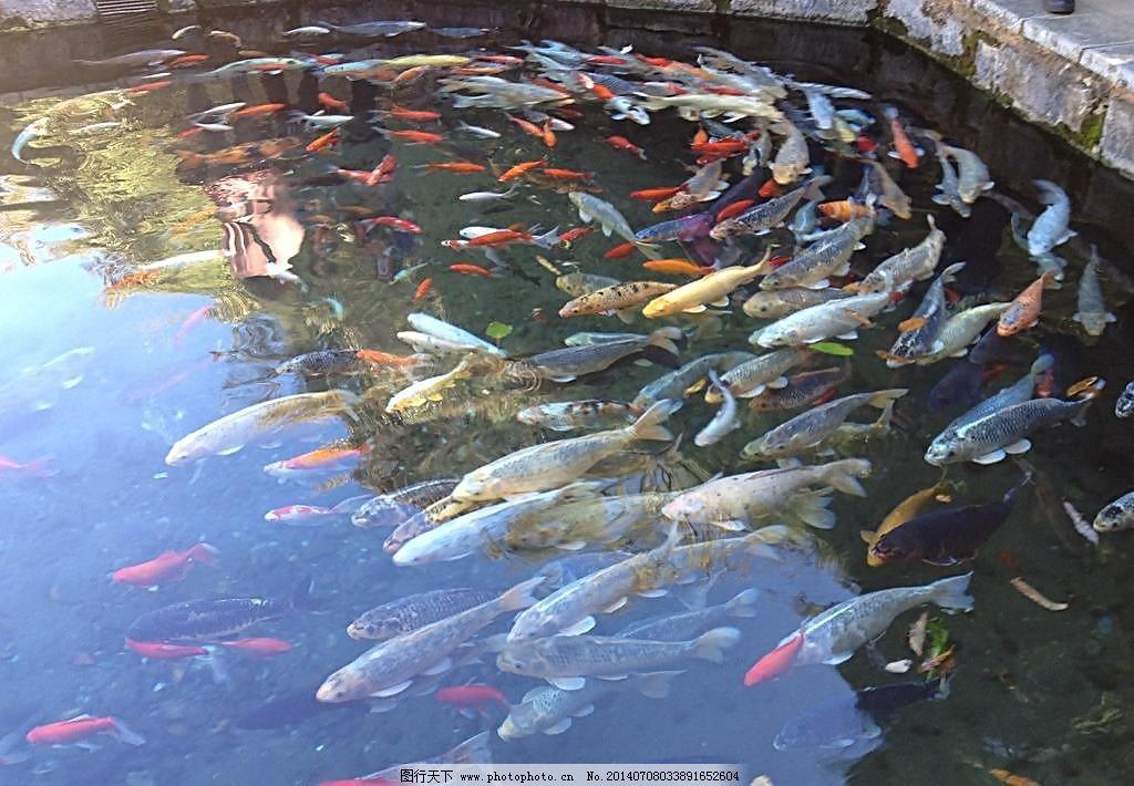 漂亮金鱼图片免费下载 72dpi jpg 池塘 金鱼 摄影 生物世界 鱼 鱼类