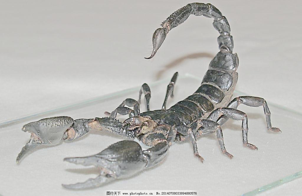 蝎子 蝎子图片免费下载 动物摄影 昆虫 生物世界 昆虫动物 黑蝎子