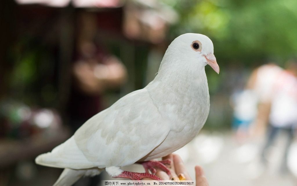 鸽子 和平鸽 动物 白色 生物世界 鸟类 摄影