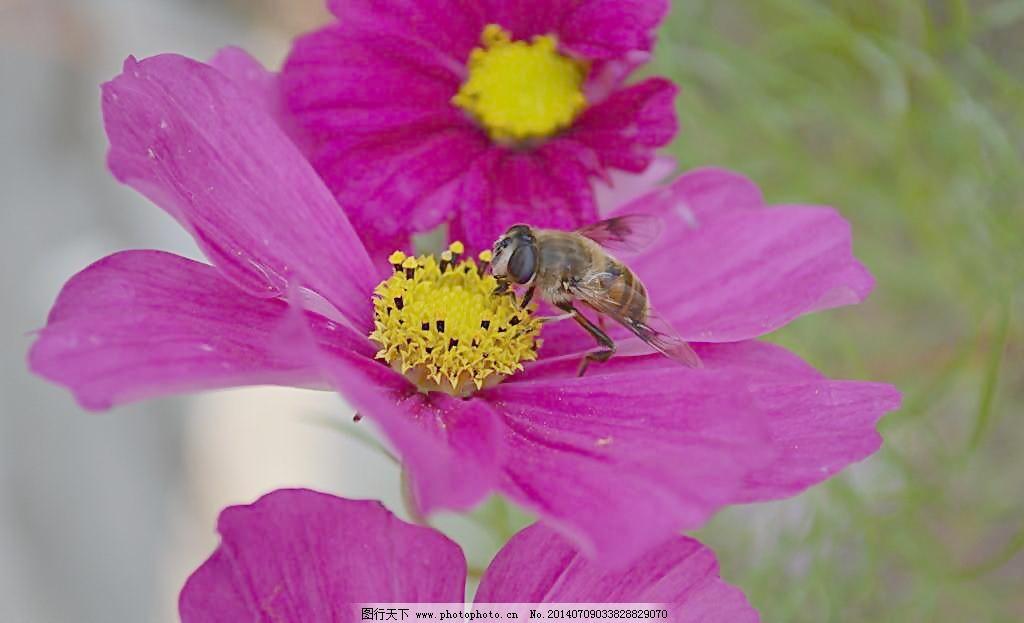 蜜蜂采蜜 蜜蜂采蜜图片免费下载 草 粉花 昆虫 忙碌 森林公园