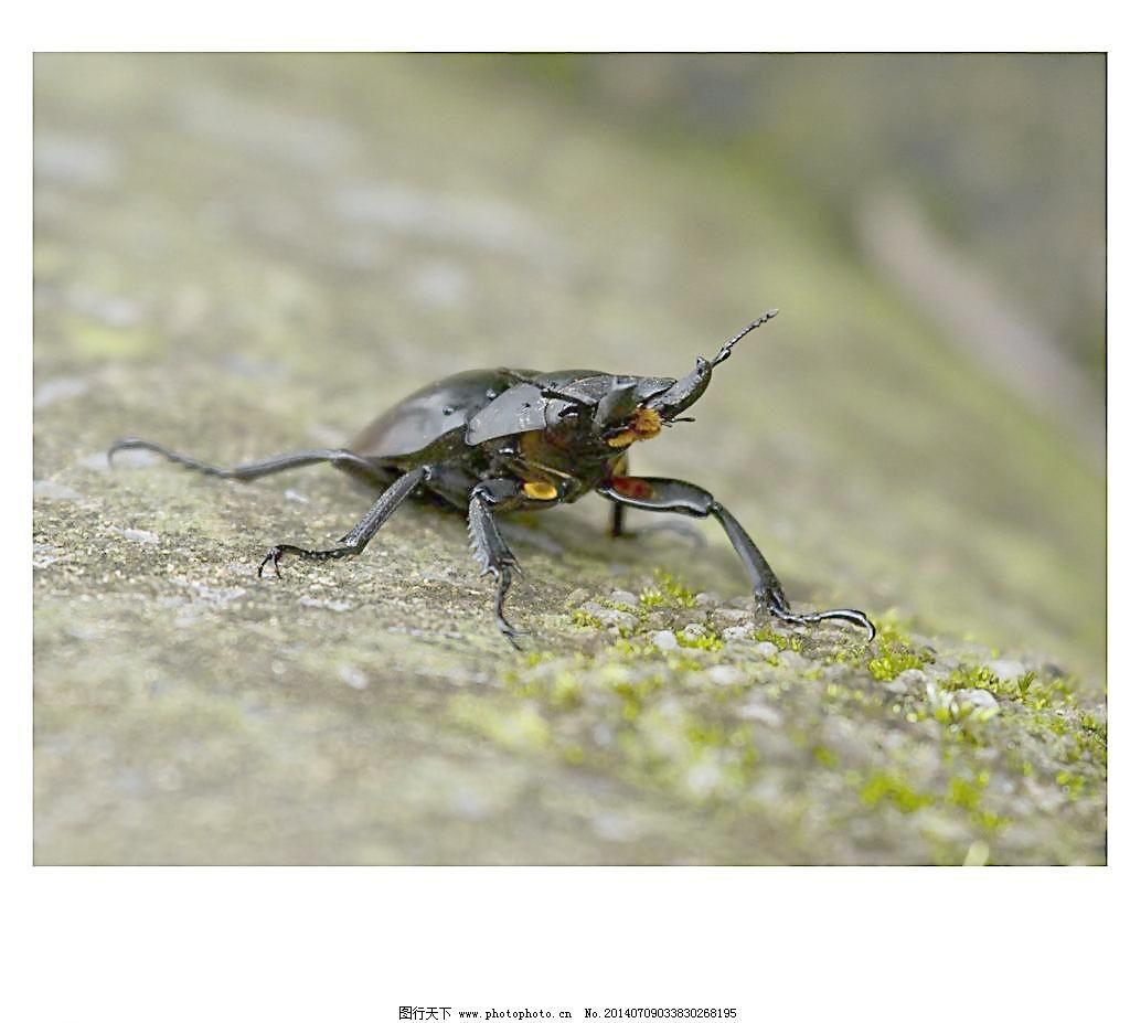 350dpi jpg 甲虫 昆虫 摄影 生态 生物 生物世界 野生动物 自然 甲虫