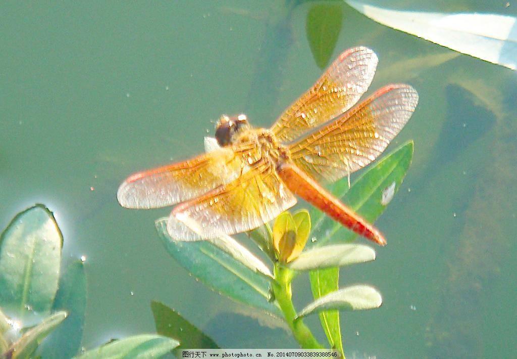 昆虫 绿叶 蜻蜓 摄影 生物世界 树木 水塘 蜻蜓 昆虫 红色飞翔动物