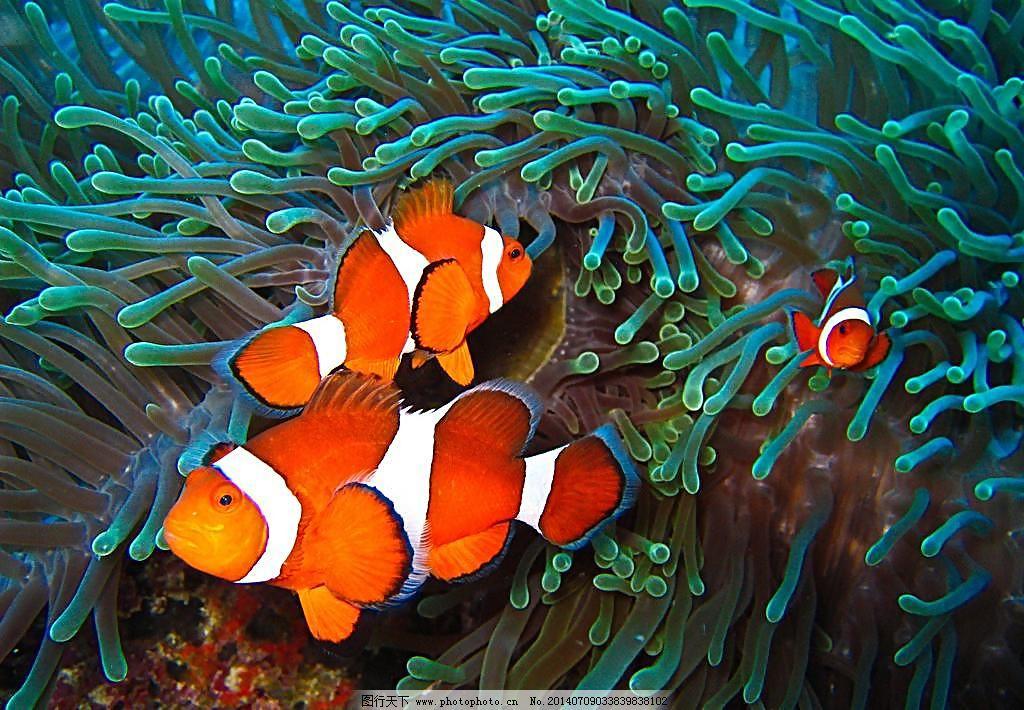 海底世界美丽小丑鱼图片