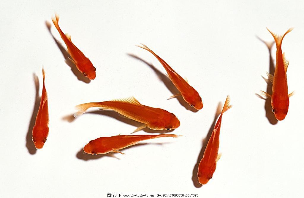 七条小金鱼图片