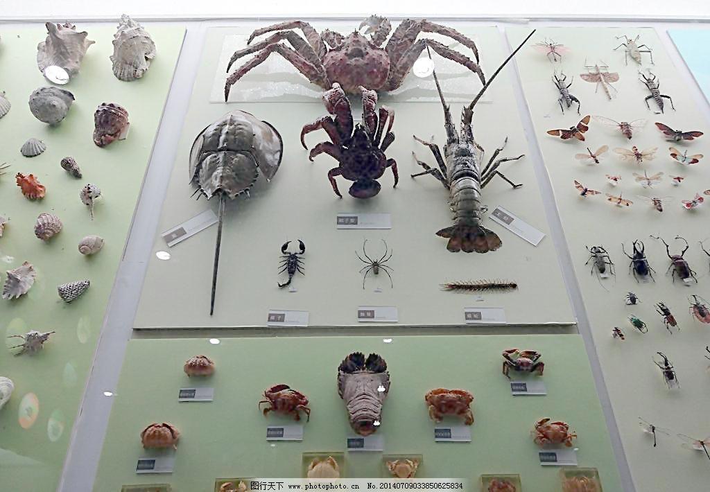 文化艺术 虾 蟹 动物模型 甲克动物 贝壳 蟹 虾 昆虫 动物标本 橱窗