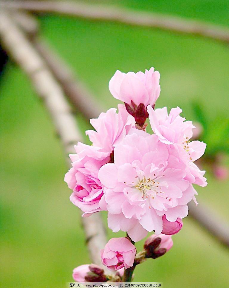 桃花朵朵开/桃花朵朵开图片