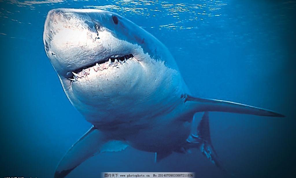 海洋鲨鱼图片免费下载 300DPI JPG 海水 海洋 海洋生物 蓝色世界 鲨鱼 设计图库 生物世界 鱼 洋鲨鱼 海洋 鲨鱼 海水 鱼 鱼类 大鱼 凶猛鲨鱼 生物世界 海洋生物 食人鱼 蓝色世界 设计图库 300DPI JPG 图片素材