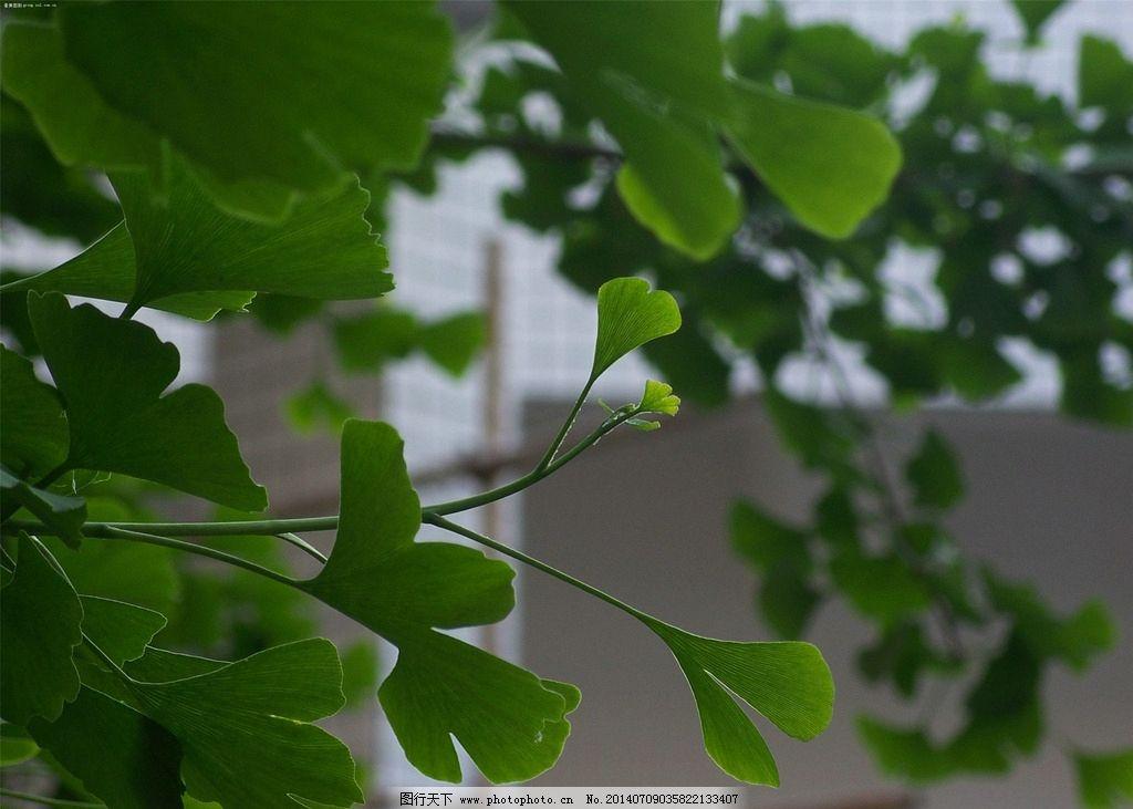银杏 树叶 叶子 植物叶子 树叶图片 保鲜树叶 树木树叶 生物世界 摄影