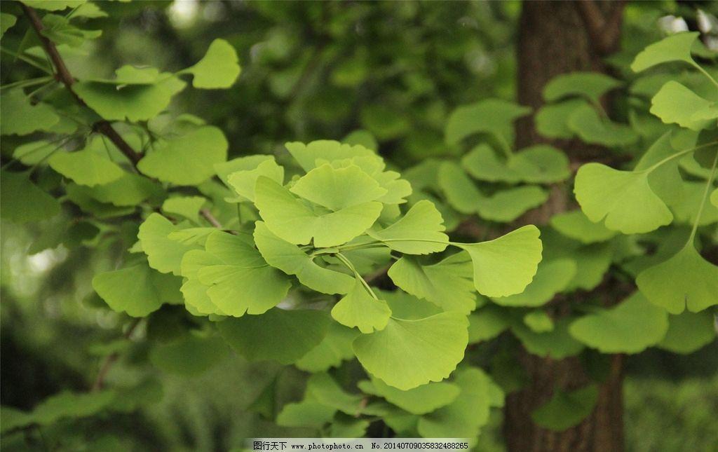 银杏 树叶图片