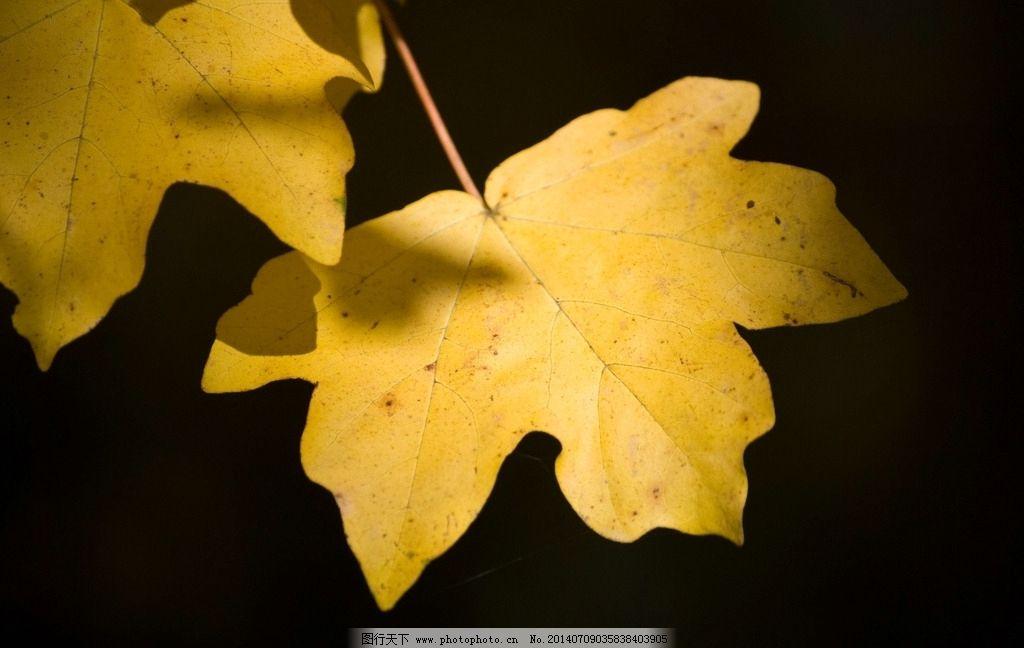 梧桐树叶图片
