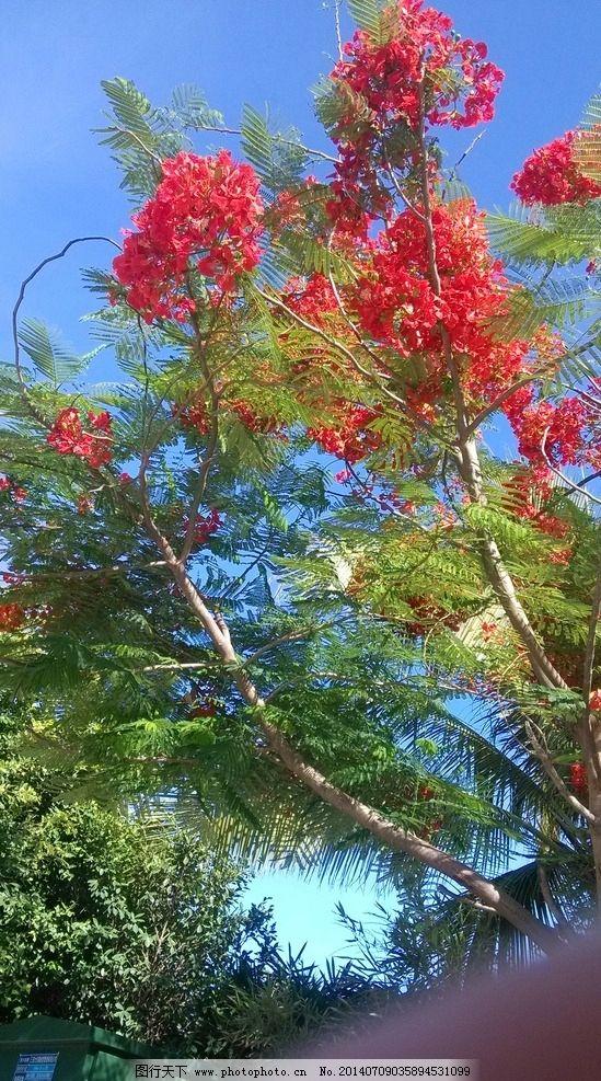 凤凰树 蓝天白云 红花 三亚 鹿回头公园 树木树叶 生物世界 摄影 72