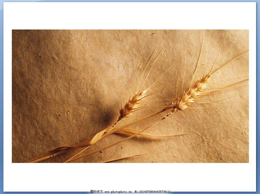 植物ppt背景图片免费下载 金色 麦穗 牛皮纸 金色 黄色ppt背景 麦穗