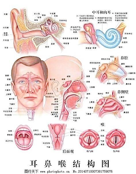 耳鼻喉结构图图片