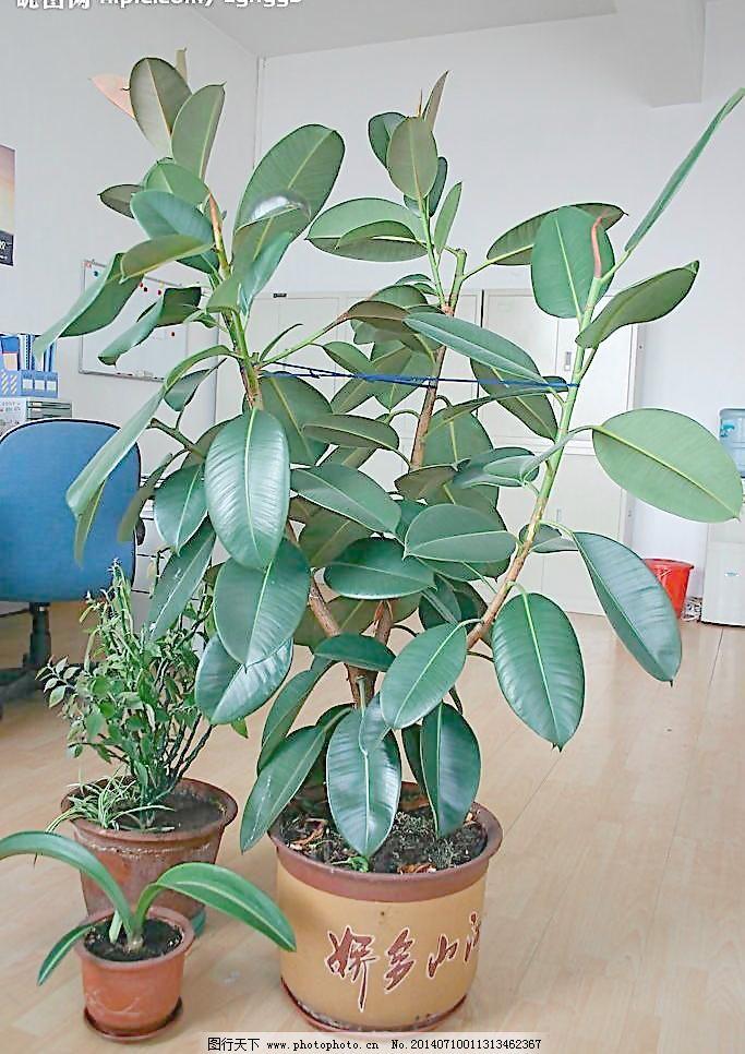 办公室的橡皮树图片