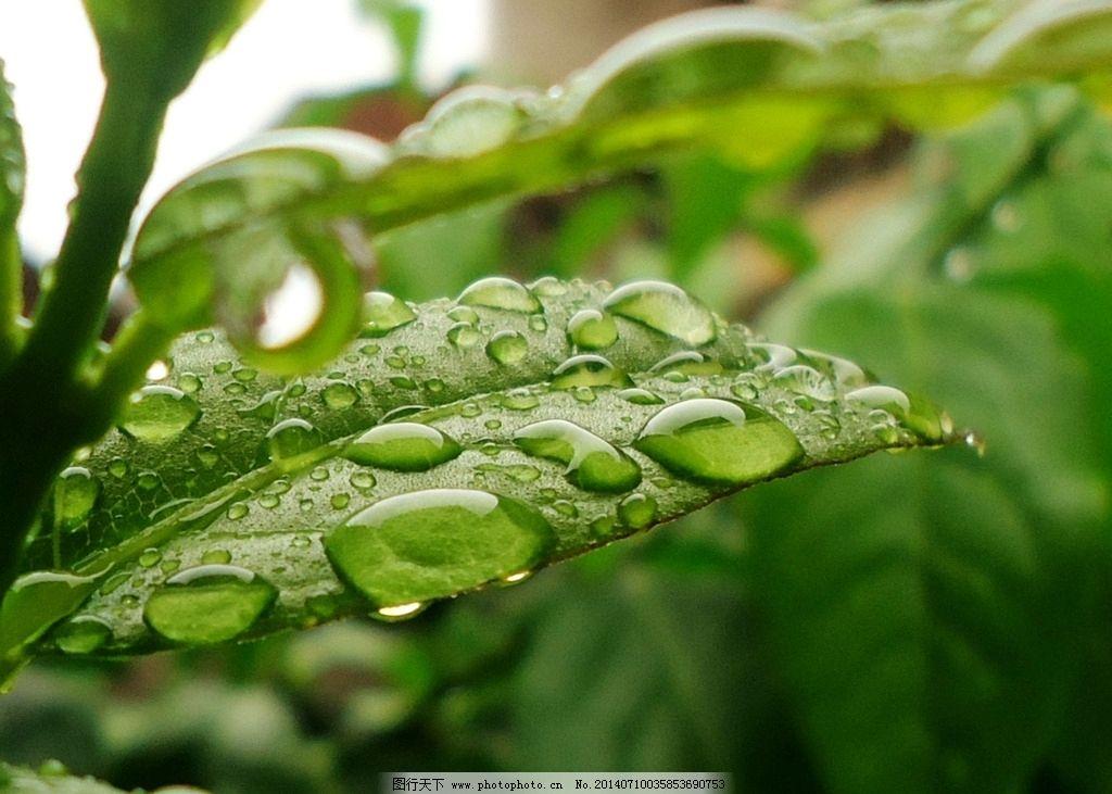 雨中树叶 树叶 腊梅叶子 雨滴 雨 微距 树木树叶 生物世界 摄影 72dpi