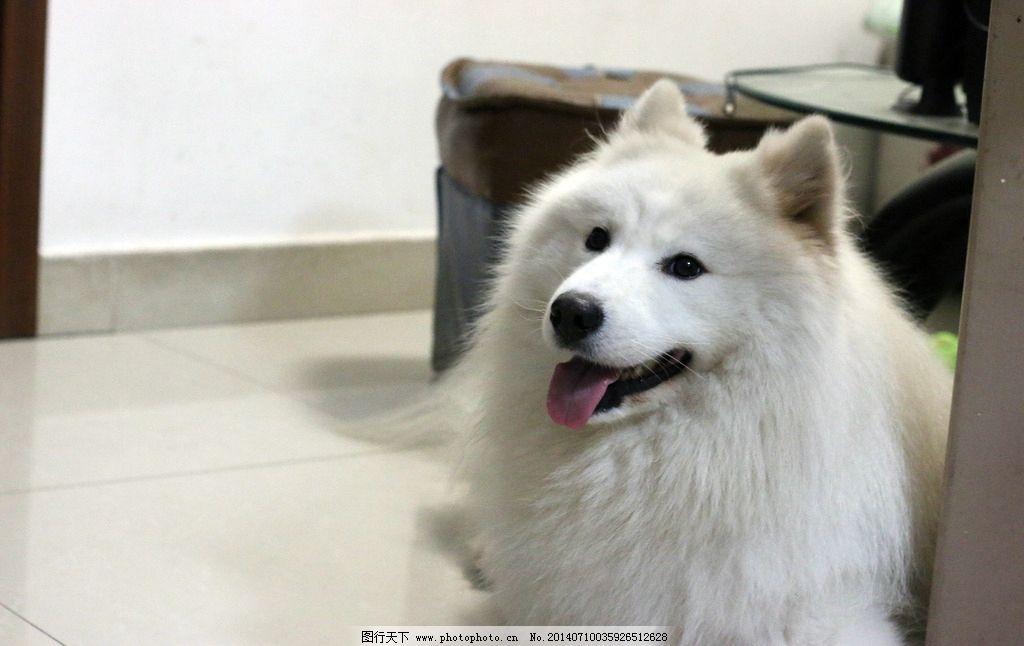 萨摩耶 萨摩 犬 狗 雪撬狗 微笑天使 动物 家禽家畜 生物世界 摄影 72