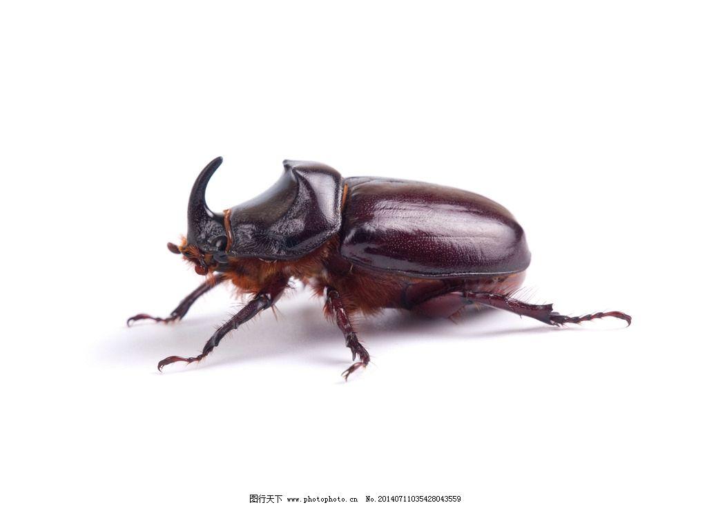 犀牛甲虫 虫子 爬虫 昆虫 动物 生物世界 摄影 300dpi jpg