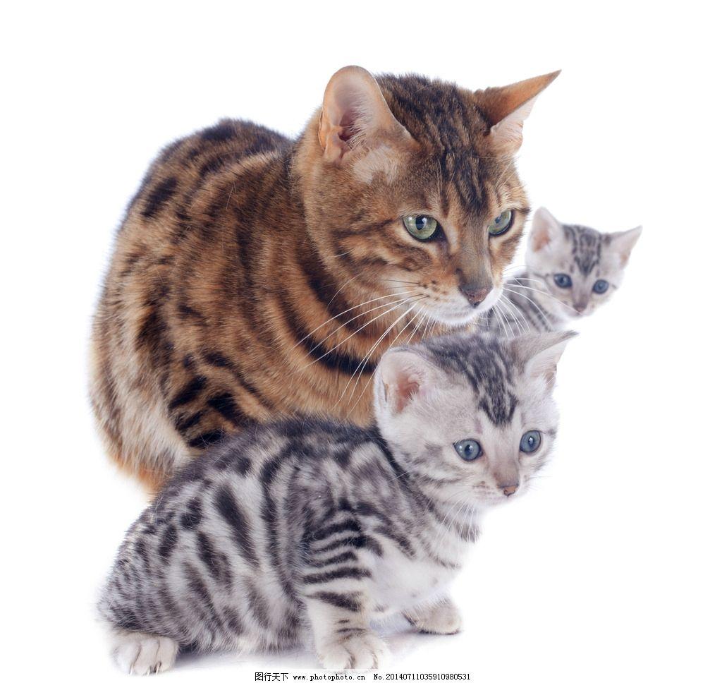 猫咪 萌猫 花猫 三只 宠物 萌宠 家宠 动物 生物世界 家禽家畜 摄影 3