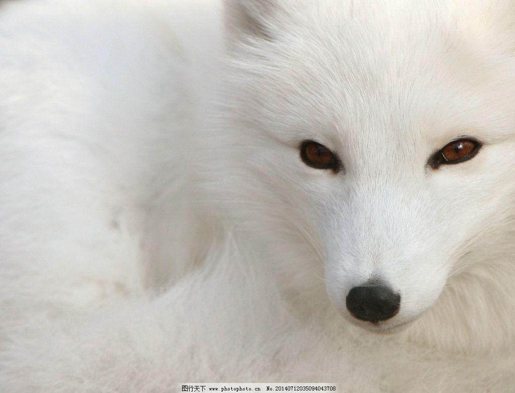 狐狸 白狐狸 小白 大白 跑啊 野生动物 生物世界 摄影 72dpi jpg