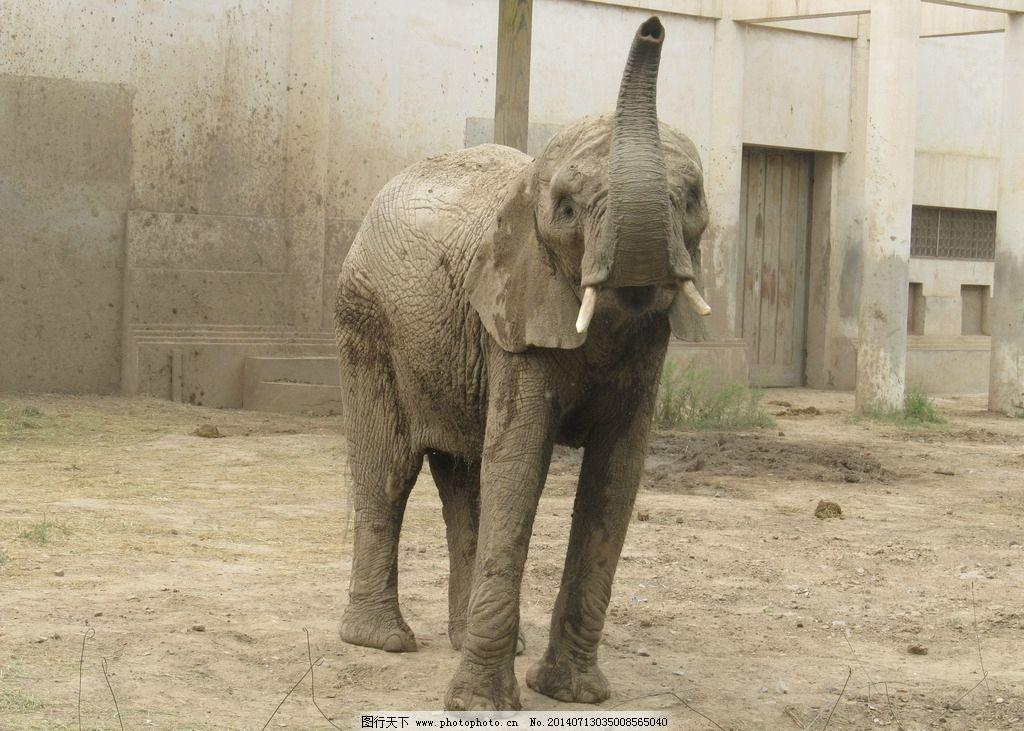 大象 大象翘鼻子 大象翘马脚 老大象 野生动物 生物世界 摄影 180dpi