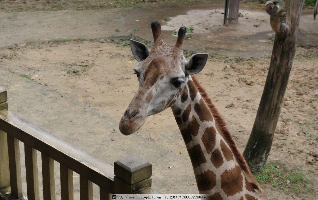 长颈鹿 动物园 大眼睛 有爱 和蔼 野生动物 生物世界 摄影 300dpi jpg