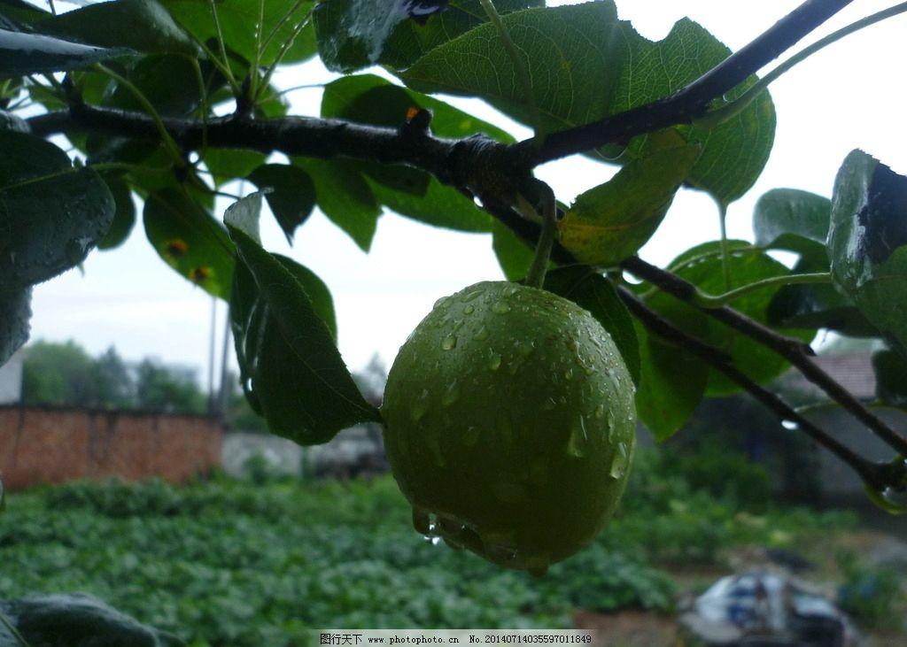 周公解梦梦见摘红枣,苹果,梨子