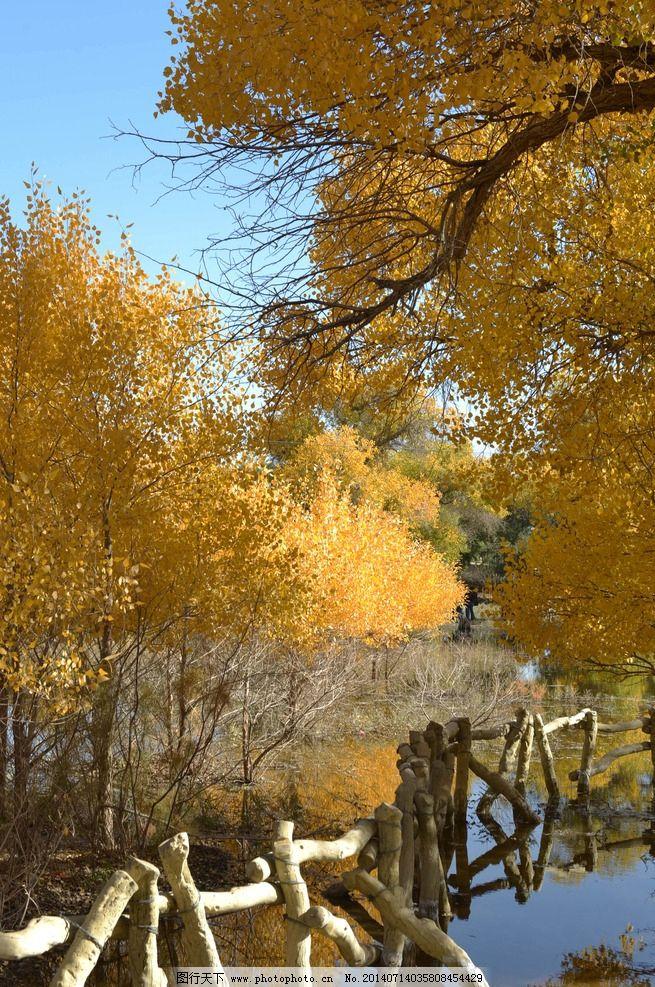 胡杨林 胡杨树 杨树 树 树林 树木树叶 生物世界 摄影 300dpi jpg