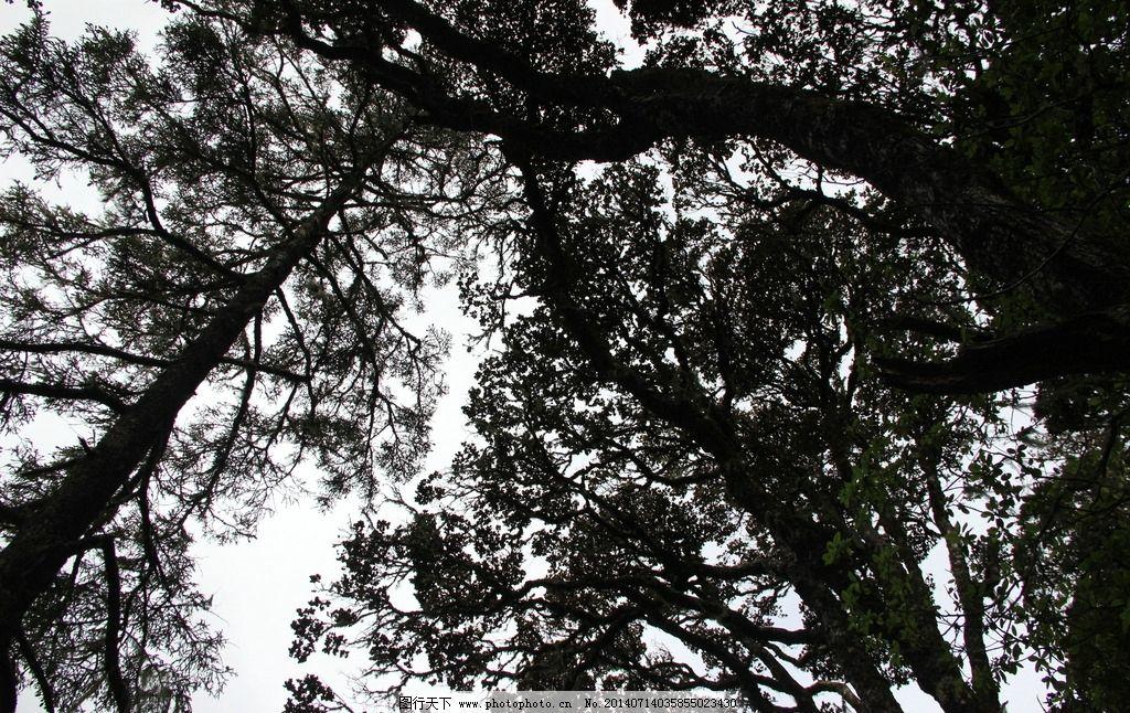 树木 树 天空 树枝 枝杈 树叶 云南 香格里拉 树木树叶 生物世界 摄影