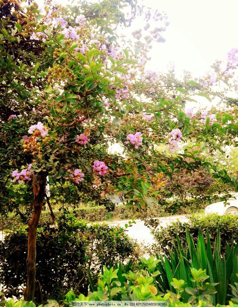 木槿花 植物 花卉 花树 绿化带 公路 蓝天 自然风景 自然景观 摄影
