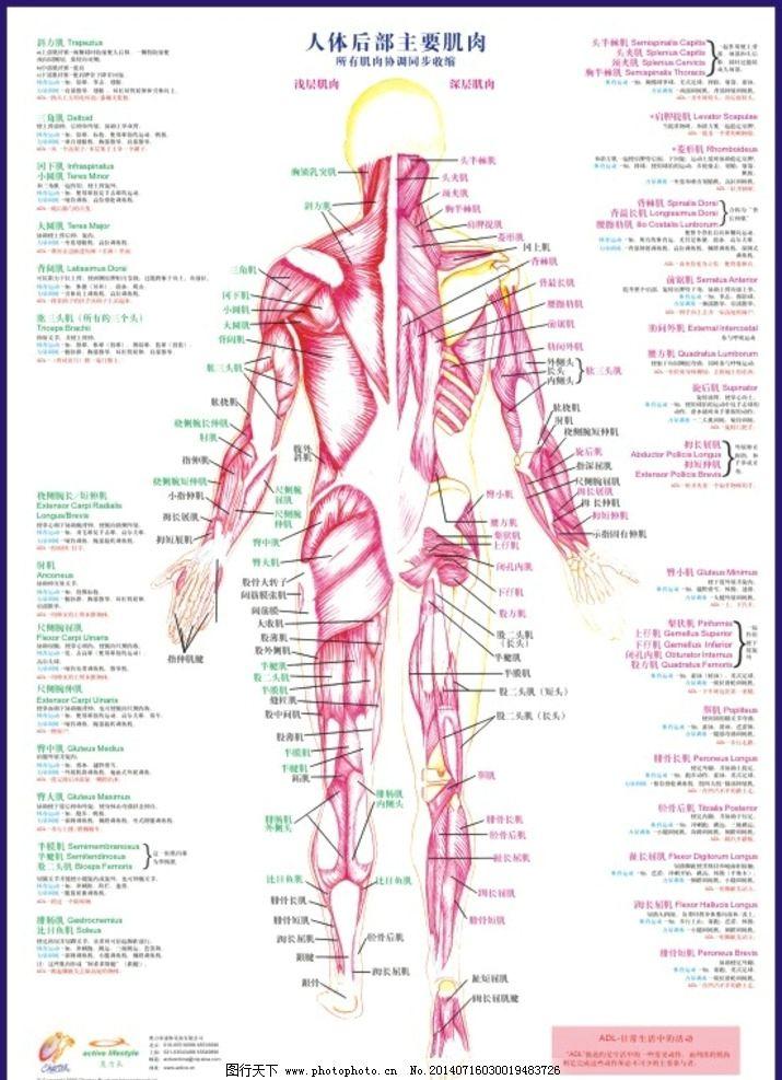 人体肌肉分布图_人体后部主要肌肉图片_海报设计_广告设计_图行天下图库