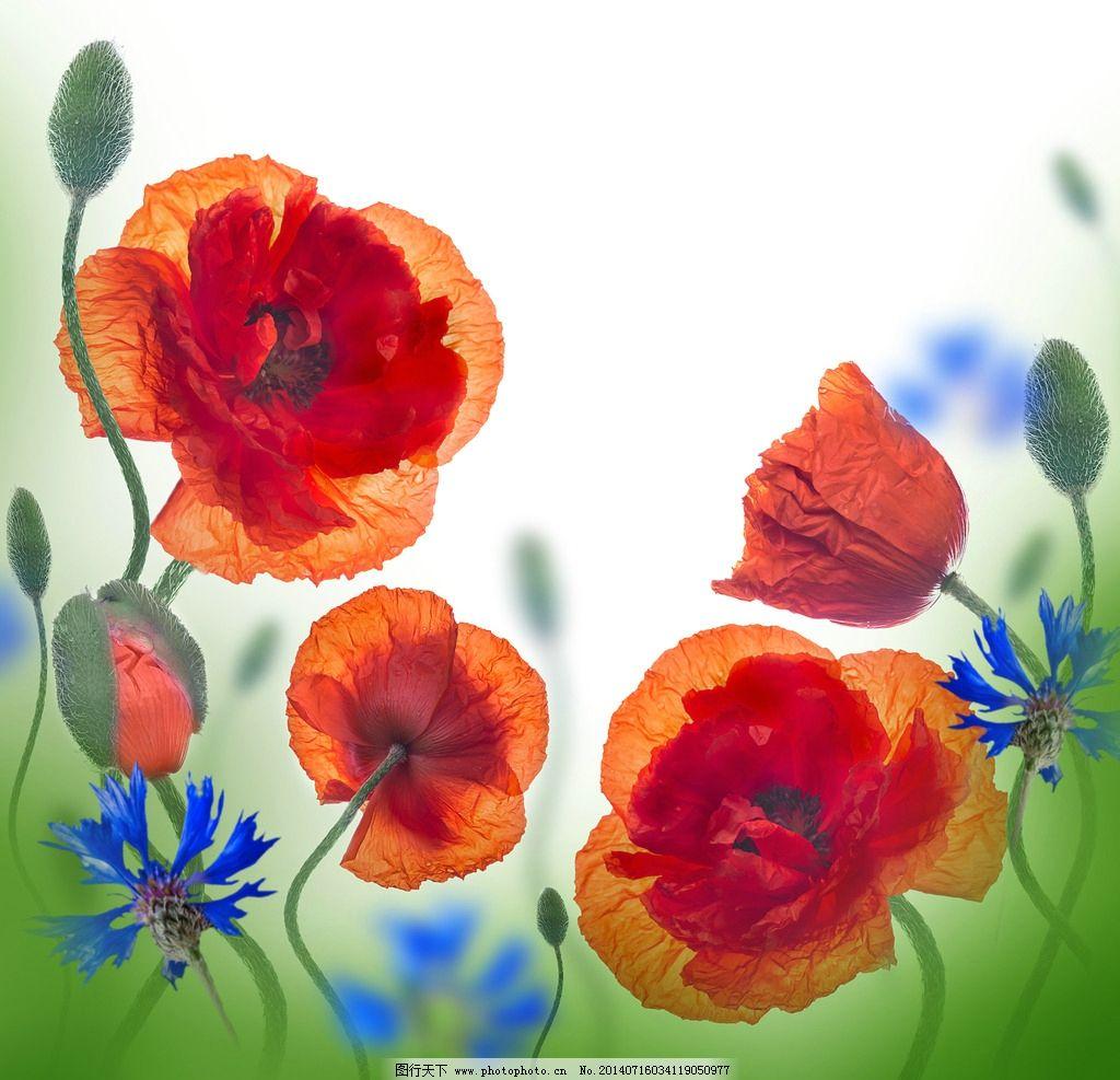 花 手绘罂粟花