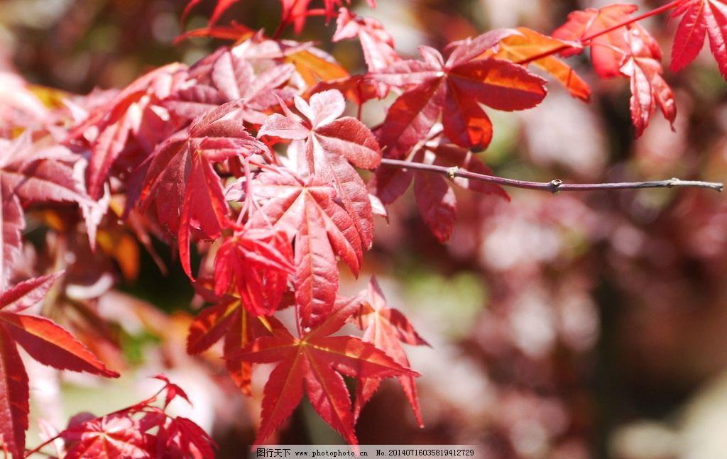 枫香叶红 枫香 枫 盆栽 红叶 枫红 树木树叶 生物世界 摄影 180dpi